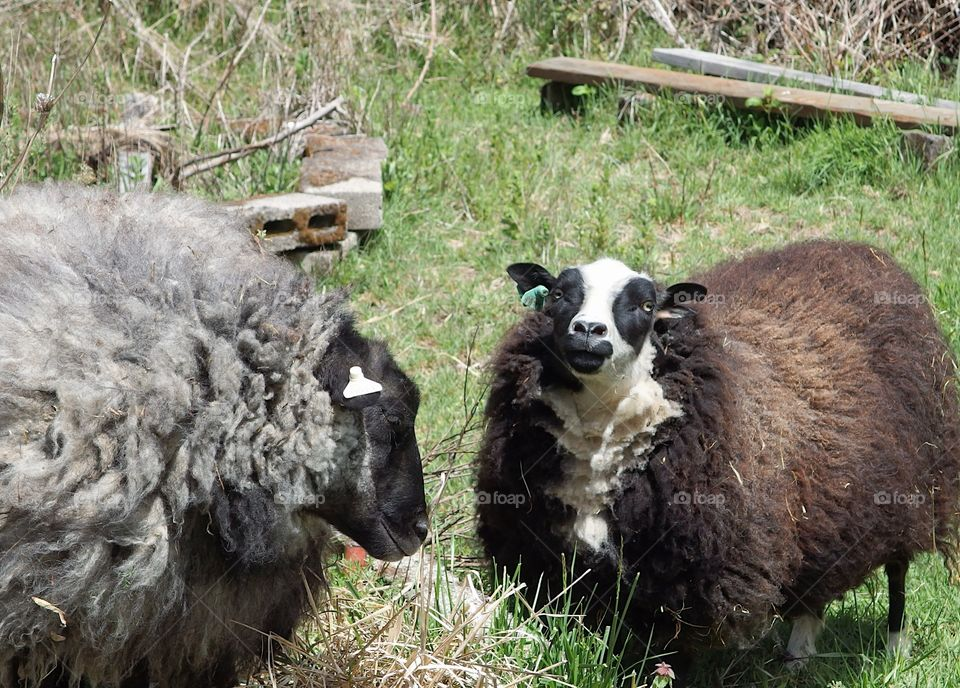 Sheep with full and colorful wool coats ready for spring shearing graze in a pasture on a farm in rural Lane County in Western Oregon.