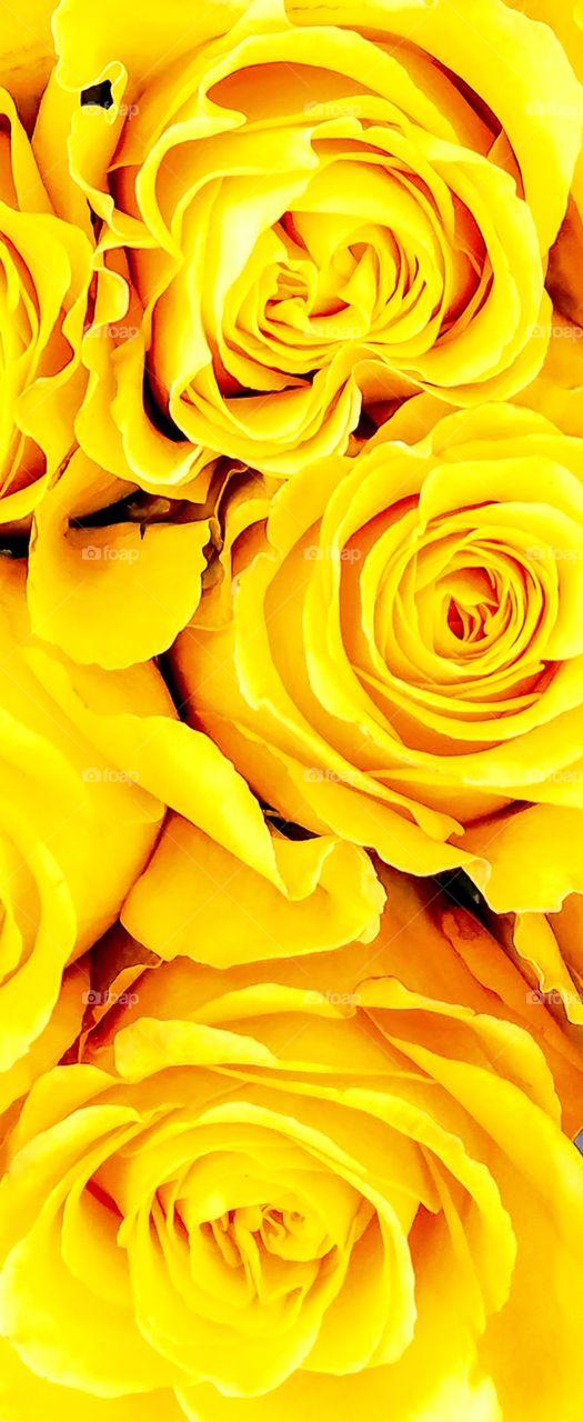 Yellow Roses Close-up
