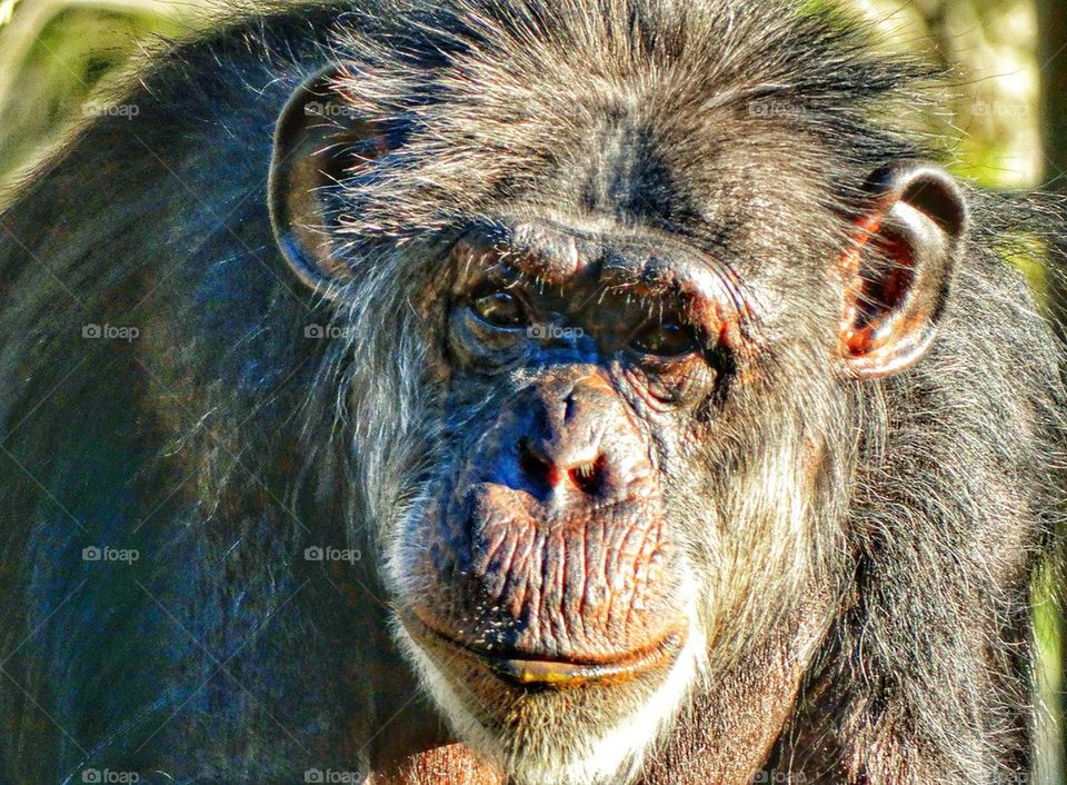Thoughtful Chimpanzee. Gaze Of A Chimpanzee