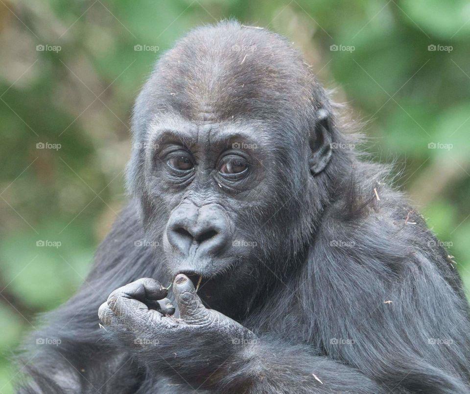 junior gorilla intently snacking