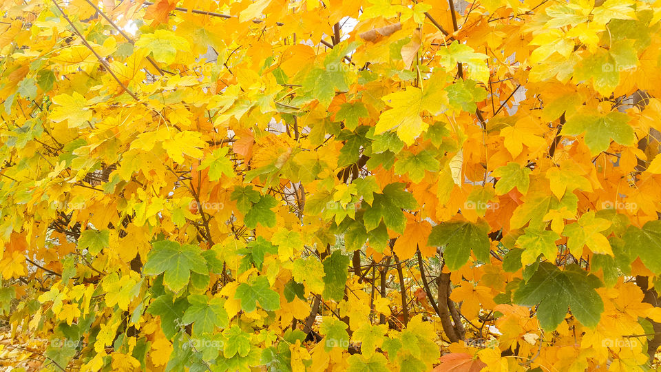 autumn tree is decorated with many shades, yellow-green delicate leaves adorn the autumn season