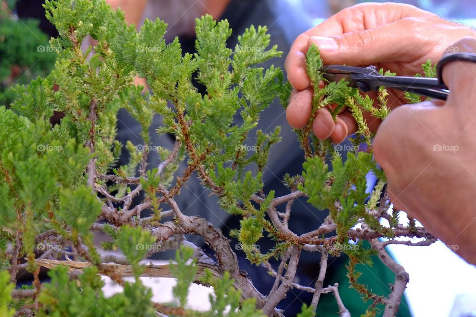 Pruning a bonsai plant with tiny scissors