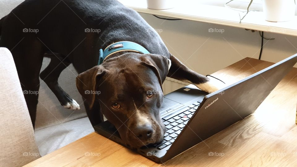Dog working on the laptop