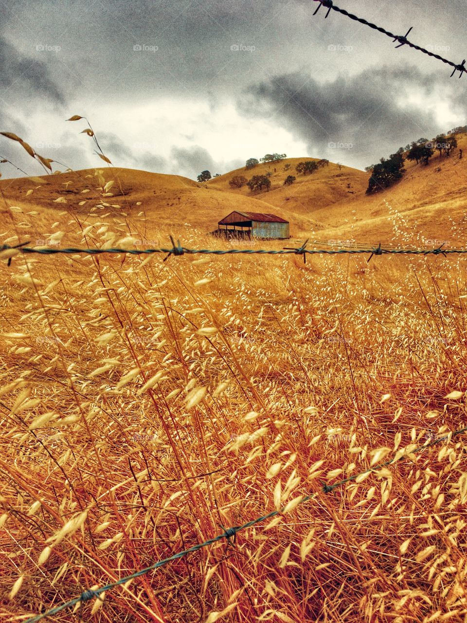Country building on golden hills with golden grasses of California.