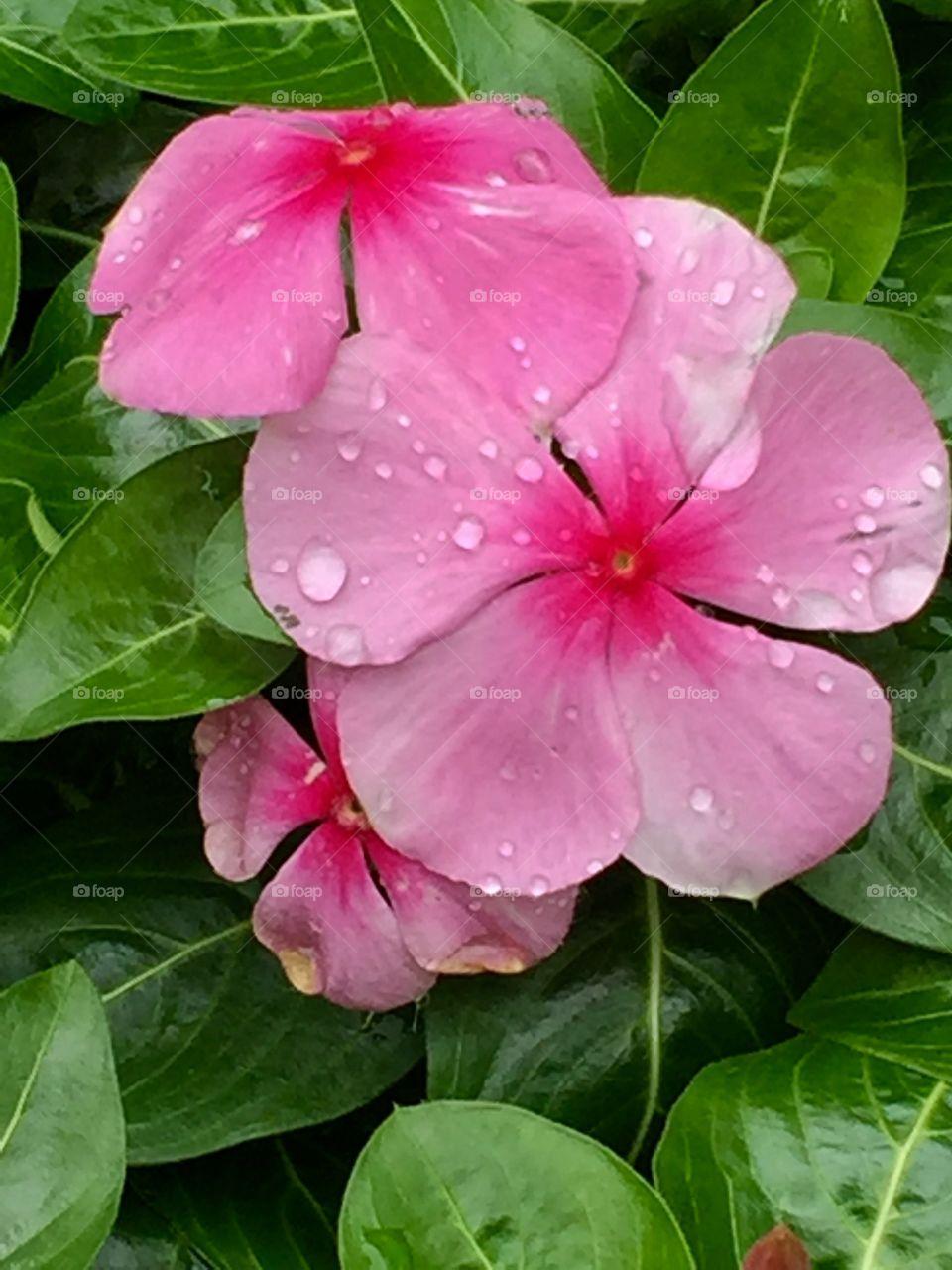 Vinca Blooms