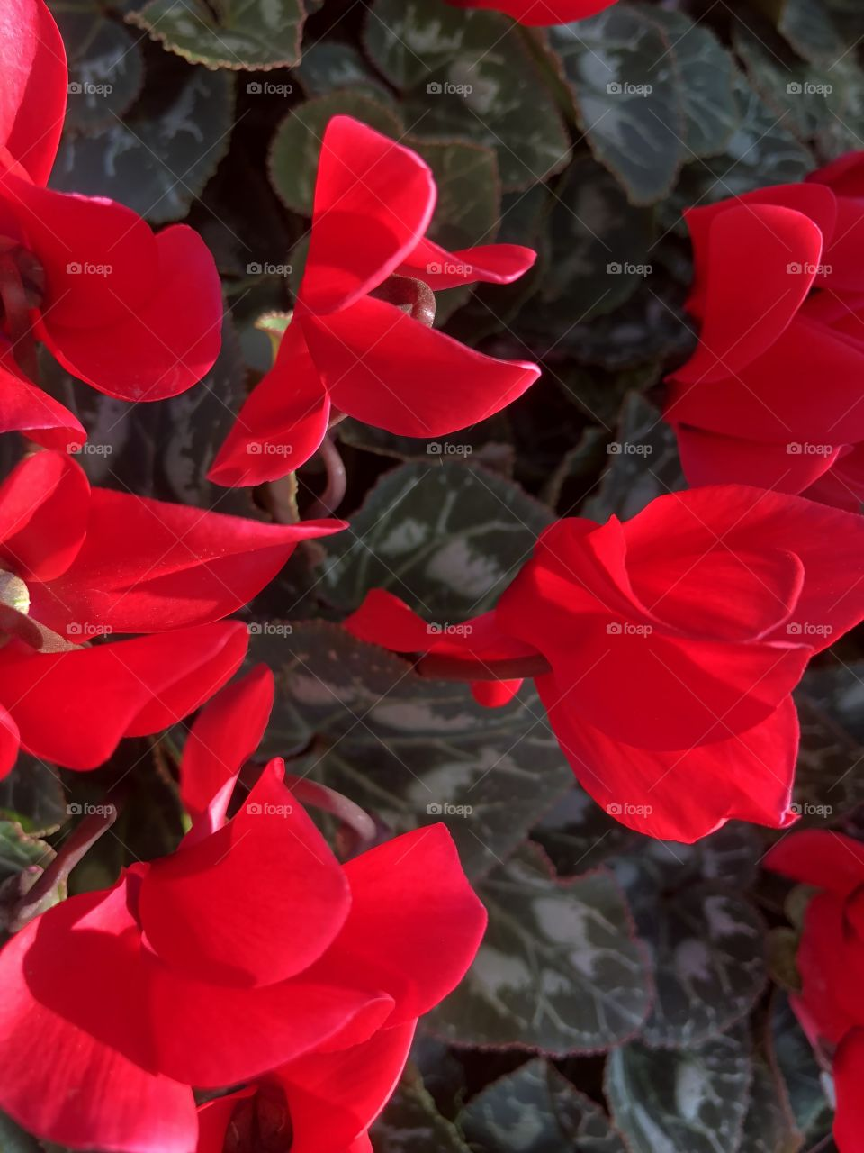 These cyclamen are fantastical, because that red is so massively appealing and very suitable for ones Valentine.
