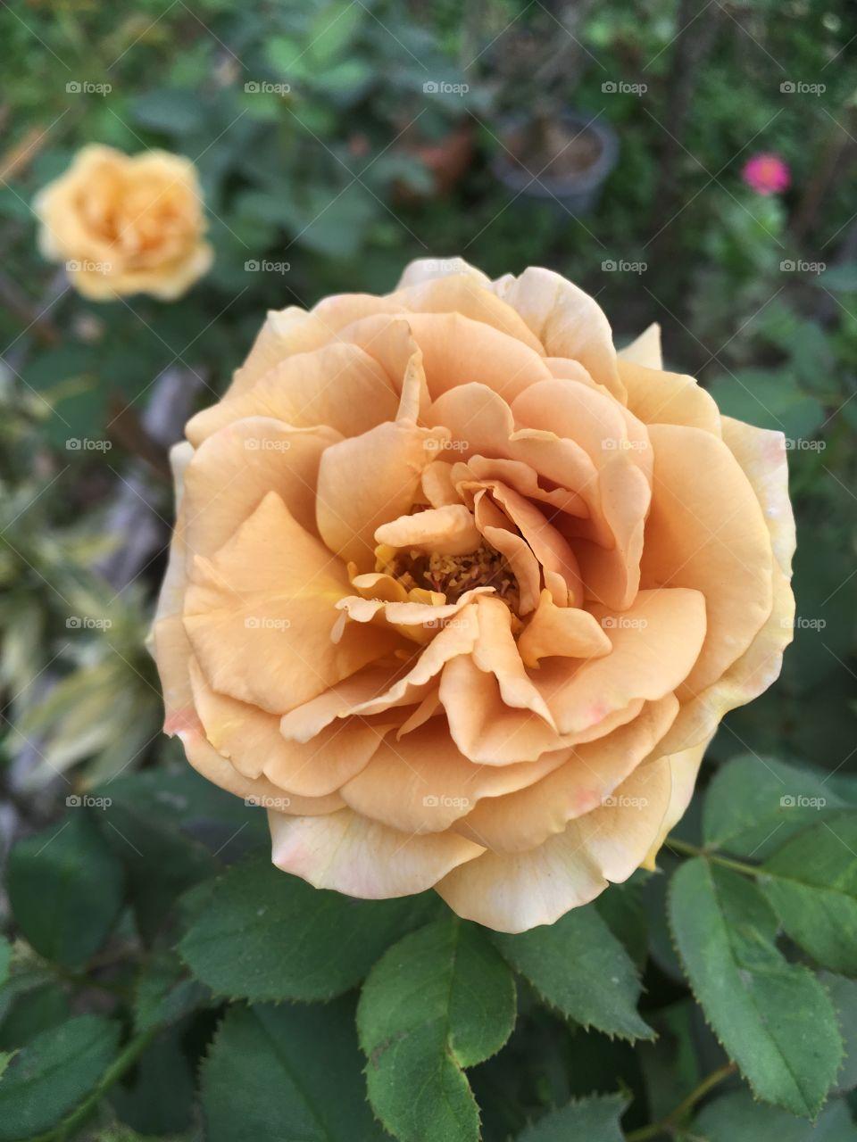 Rose flower in mature garden