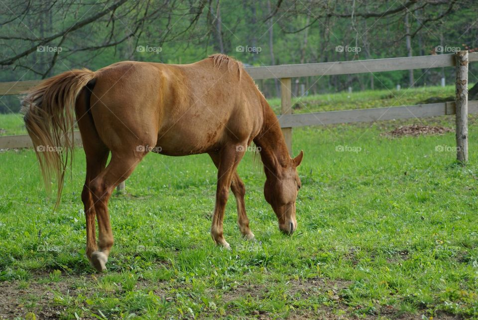 Brown horse grazing on field