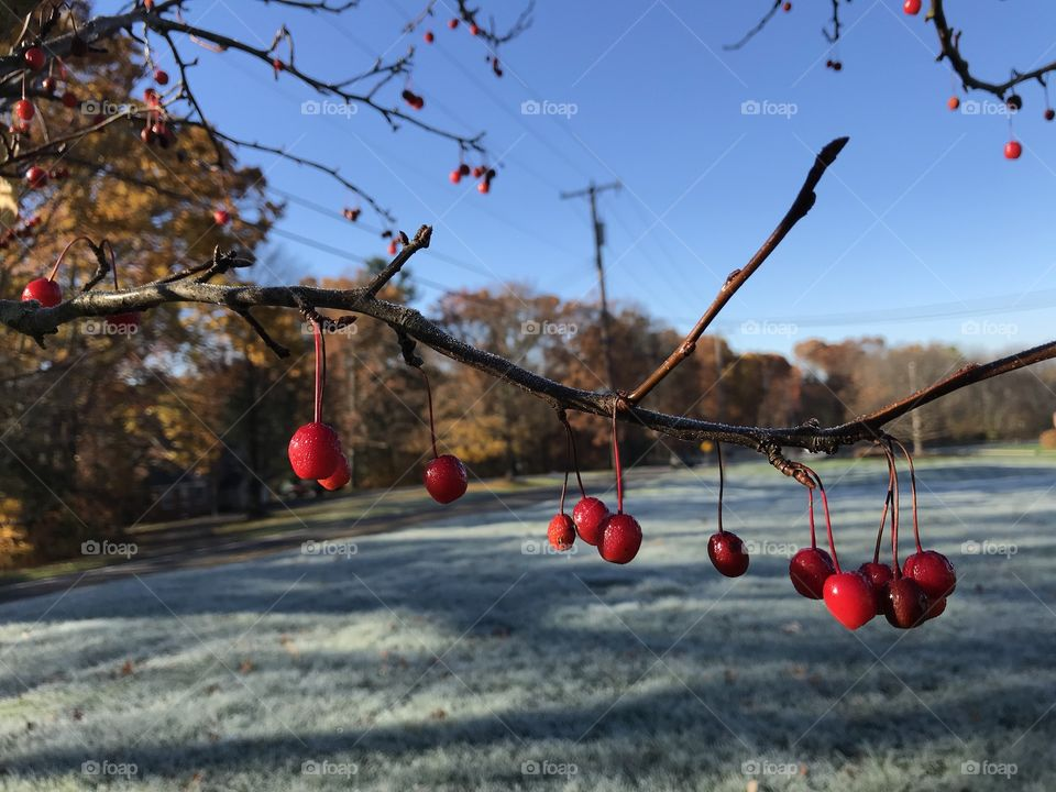 Crystal clean air, deep blue skies, shimmery frost and brilliant red berries on a gorgeous fall day.
