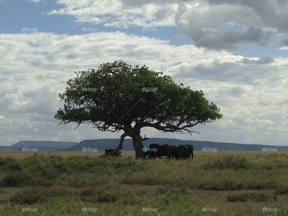 Elephants under an acacia tree