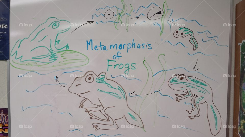 Metamorphosis of frogs