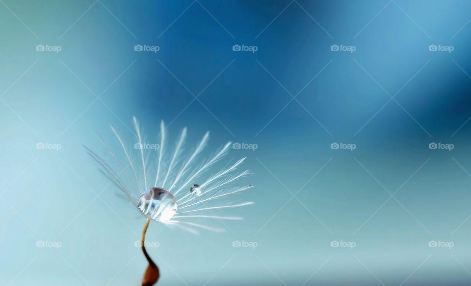 water drop on a dandelion