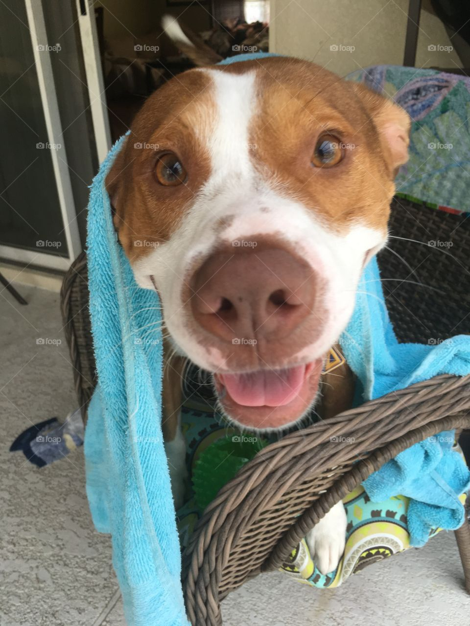 Happy wet dog in a blue towel after swimming