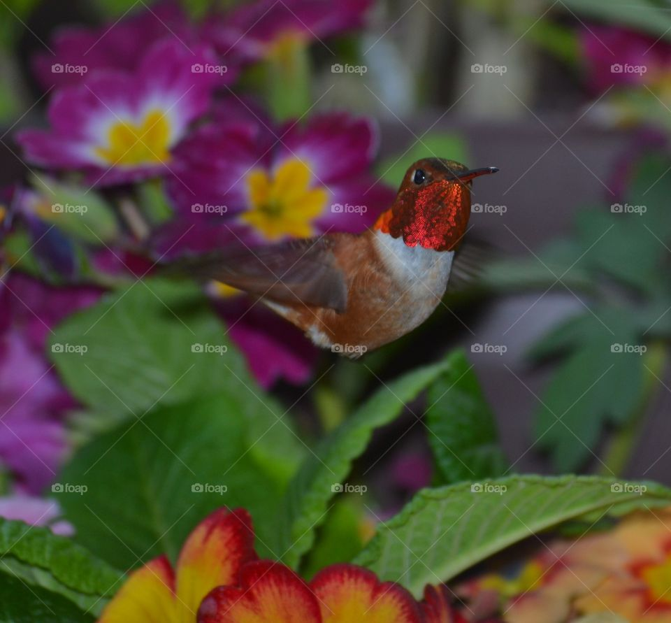 Rufous Hummingbird beautiful shiny red head  inflight . Rufous Hummingbird beautiful shiny red head  inflight with primroses