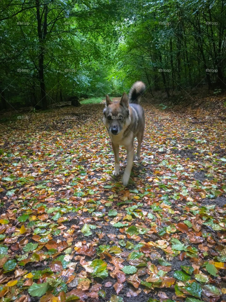 Dog walking on Fall Forest