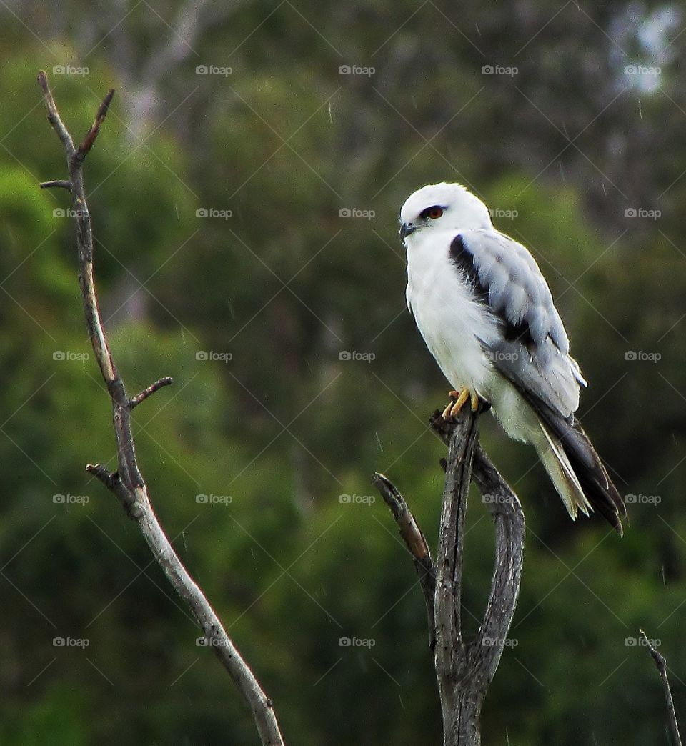 Black shoulded kite in the rain.