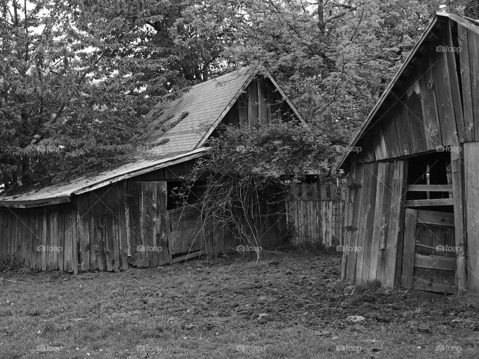 Two old worn worn wooden barns in the trees at the edge of a pasture.