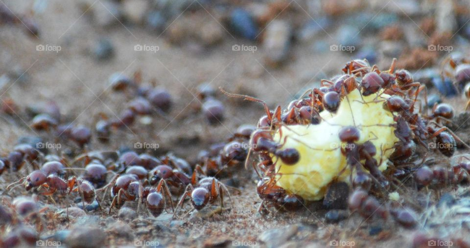 Texas Harvester Ants at work.
