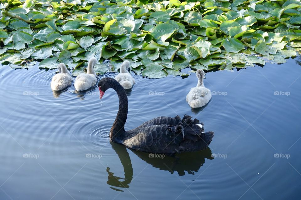 Black swan's cygnets are protected by a parent on the water.
