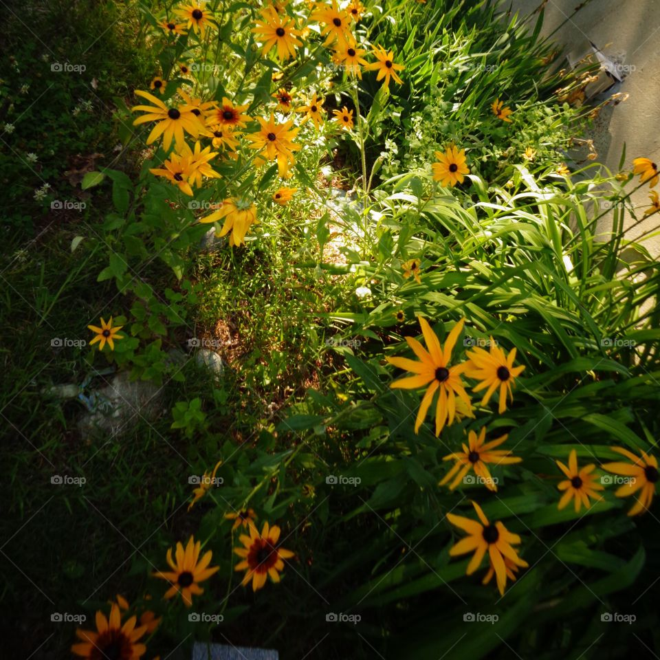 Golden Hour Mission . Darkness starting and last of the day's sunlight shining on my black eyed susans and some wild flowers in my backyard.