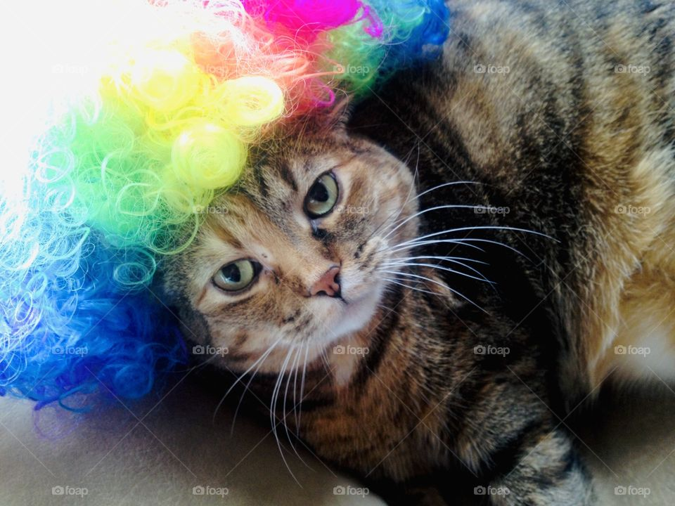 Gorgeous brown and black striped tabby cat laying on couch with rainbow wig on!