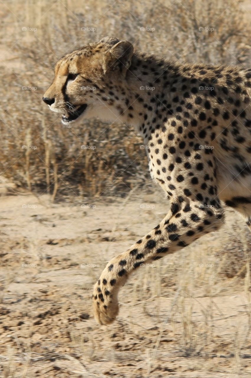 Cheetah prance