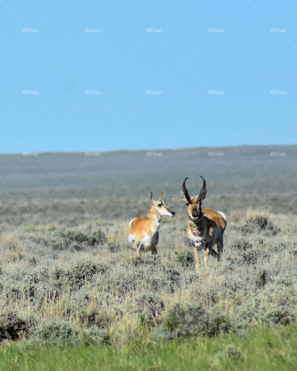 male and female pronghorn antelope