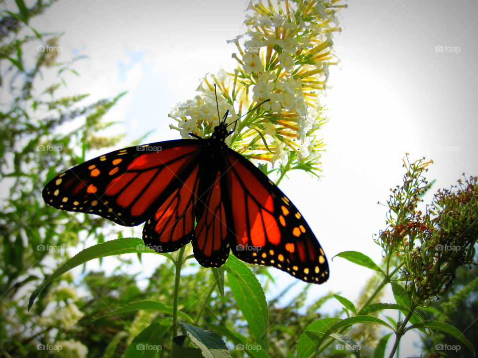 A Monarch Butterfly on a butterfly bush enjoying the nectar on a warm sunny summer day.