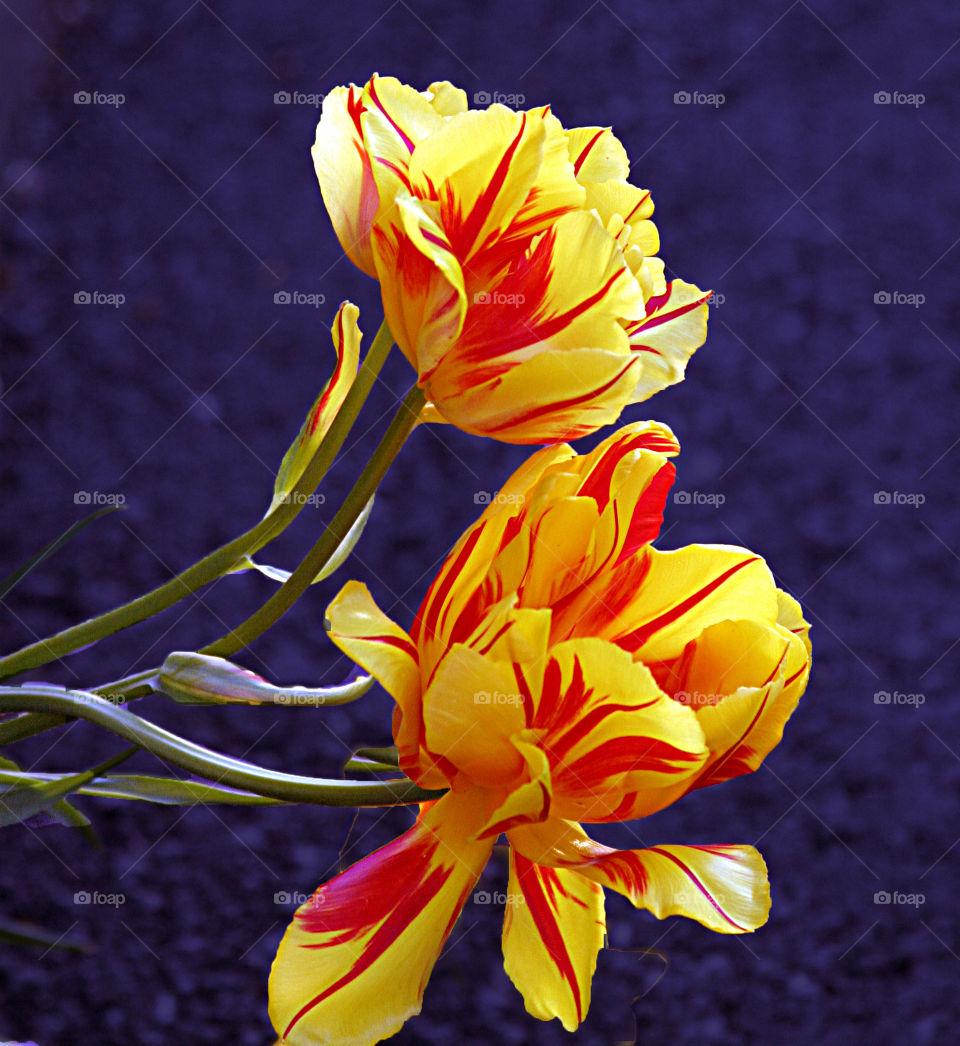 Two colored tulips.