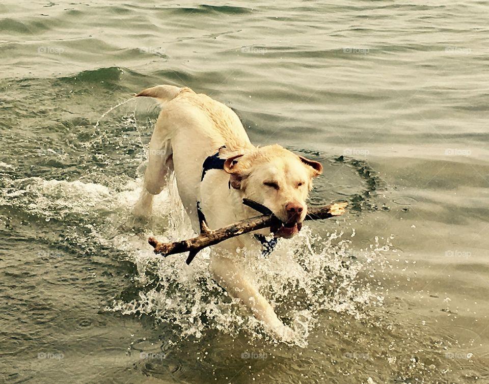 Labrador Lupan got his stick!