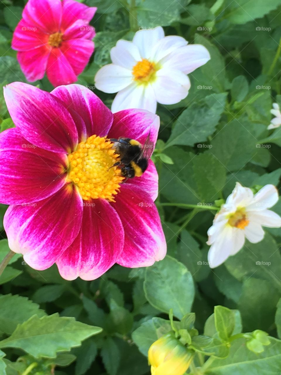 Bee on dahlia flowers in Kalofer monastery garden  in Bulgaria