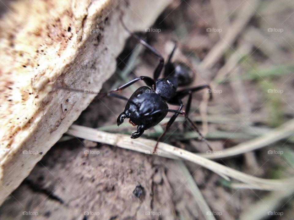 Macro closeup of an angry ant