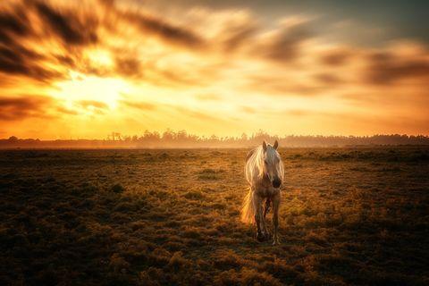 Stallion horse running in grass