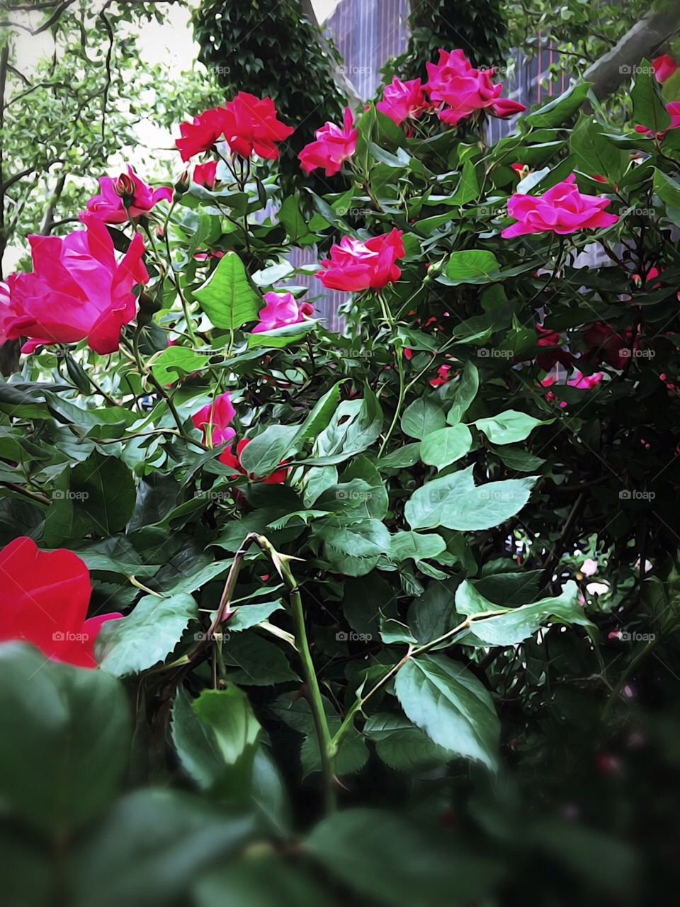 Nature/Landscape/Flowers, Red Roses - Dewitt Clinton Park, Manhattan, New York City. Instagram,@PennyPeronto