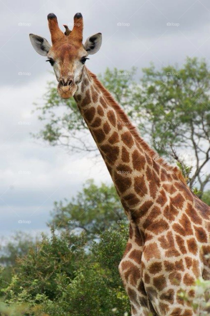 Giraffe in Krüger Park South Africa