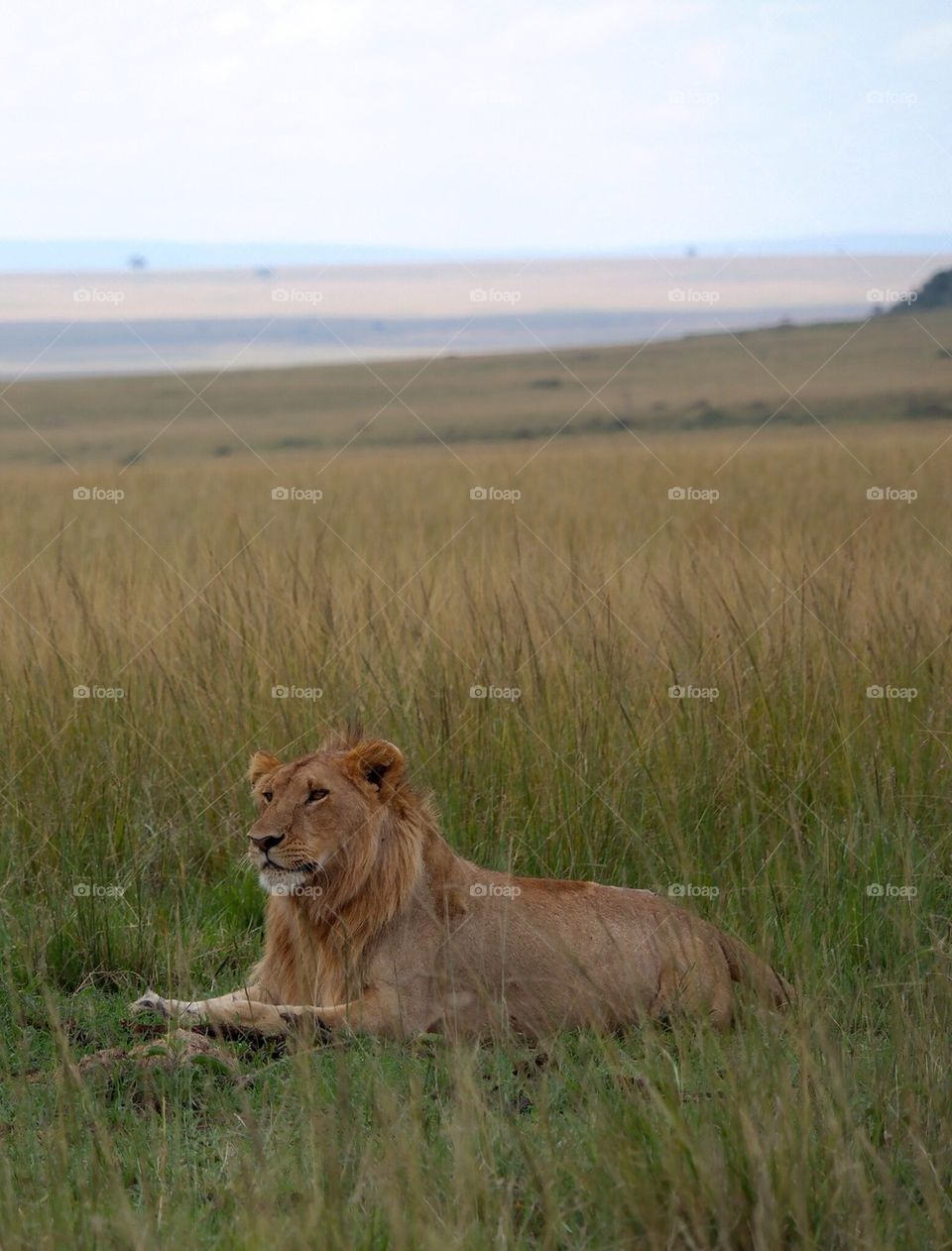 High angle view of lion sitting on grass