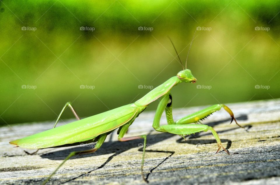 Close-up of green praying mantis on wooden