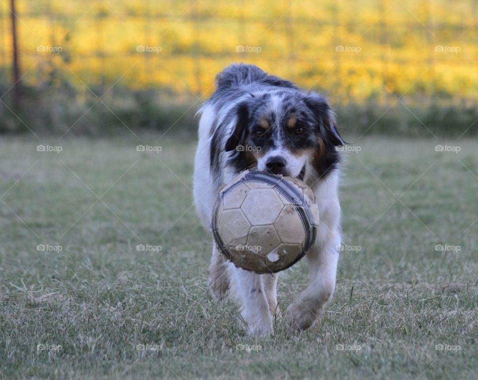 Miniature Australian Shepherd and his soccer ball.