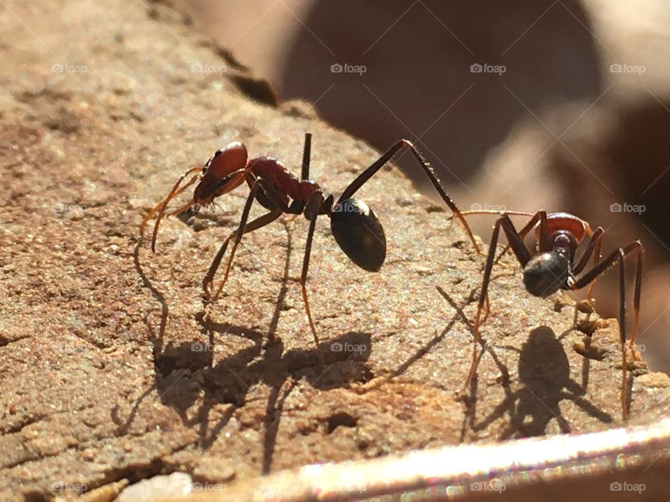Two Australian biting ants and their shadows