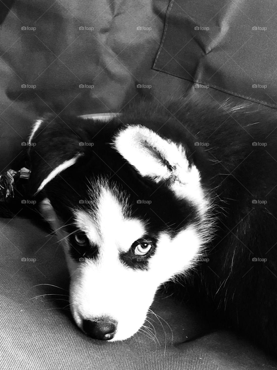 Mikio husky puppy
