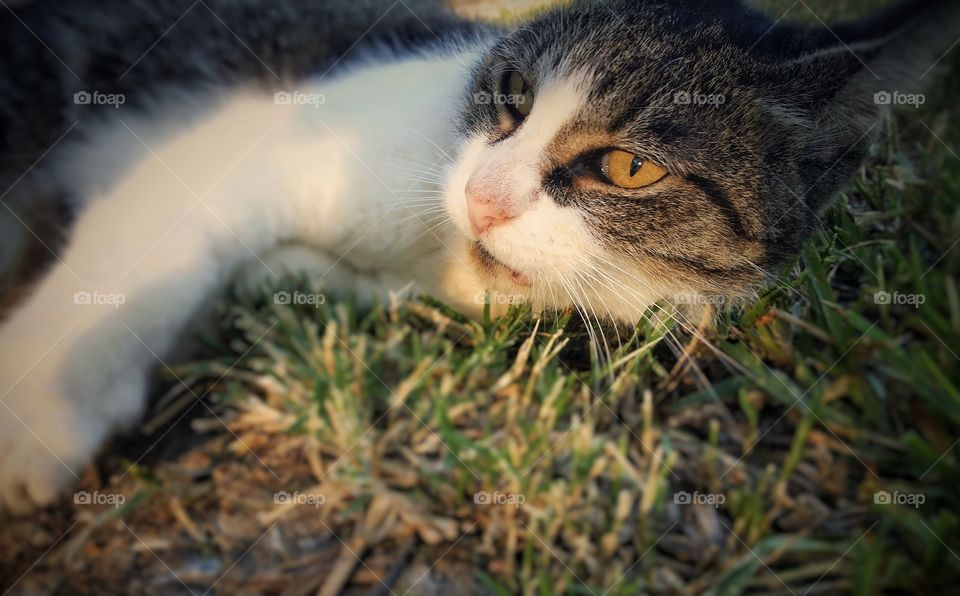 Tabby in the Summer Grass