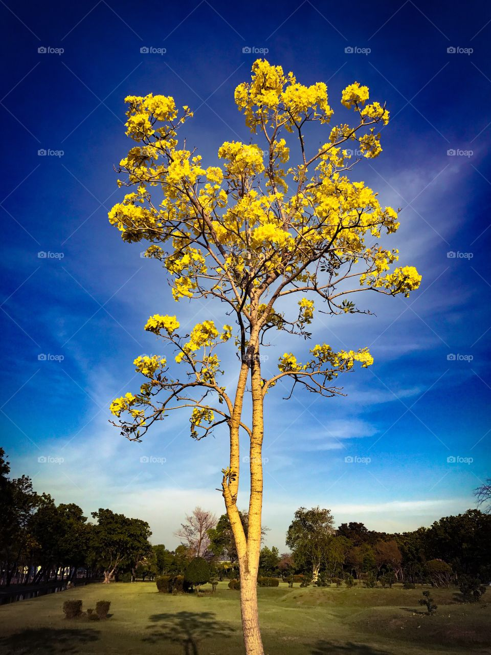 Tabebuia chrysantha, yellow flowers blossom in summer on blue sky background