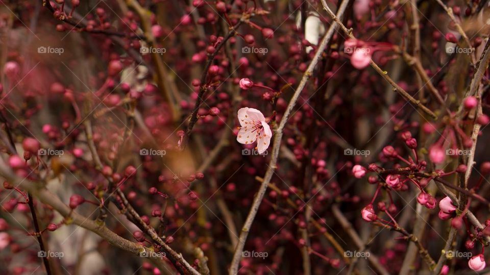 Sakura the beginning