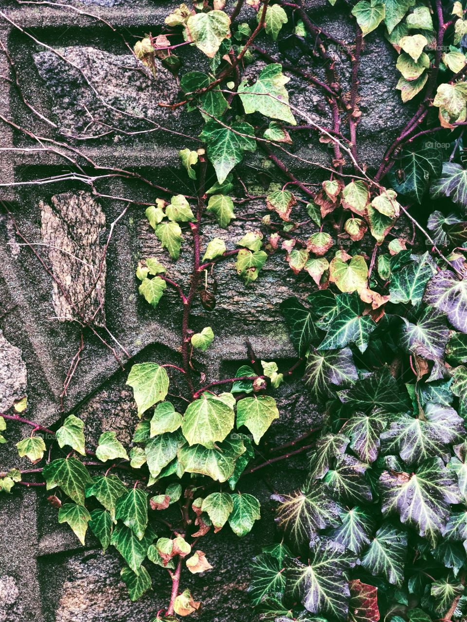 Crazy Plant People!, Ivy On The Wall, Green In Springtime