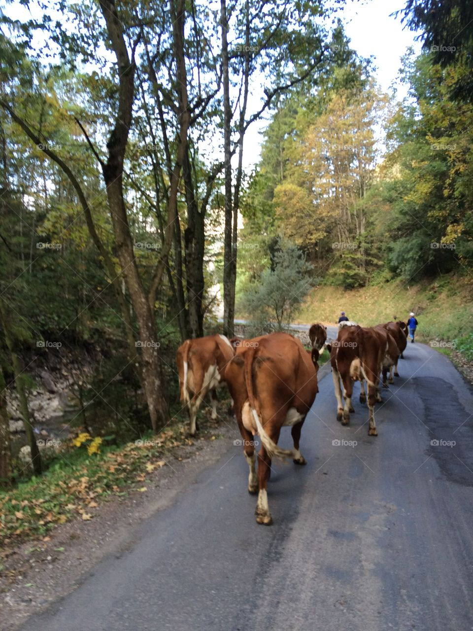 Cows coming down from Mountain in Switzerland.