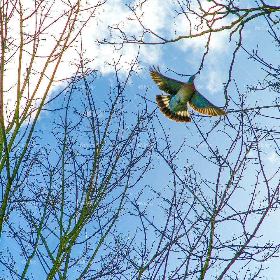 Pigeon. Pigeon in flight