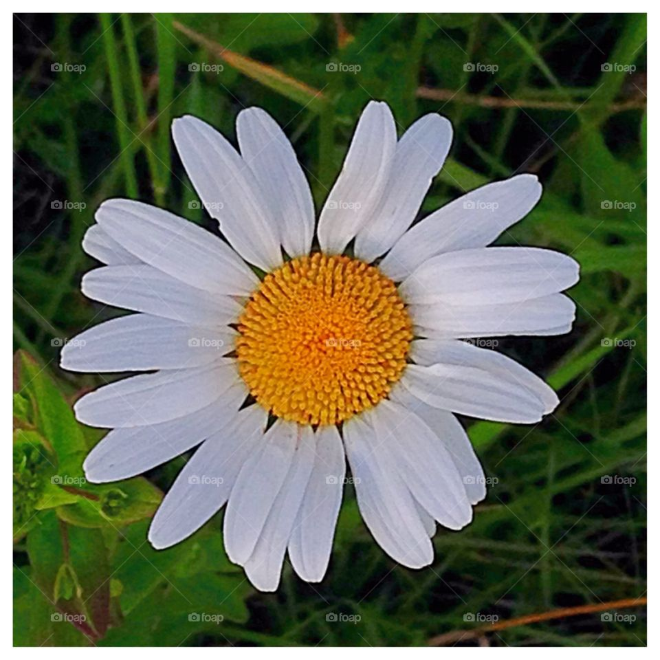 Simplicity. The beauty and simplicity of a daisy