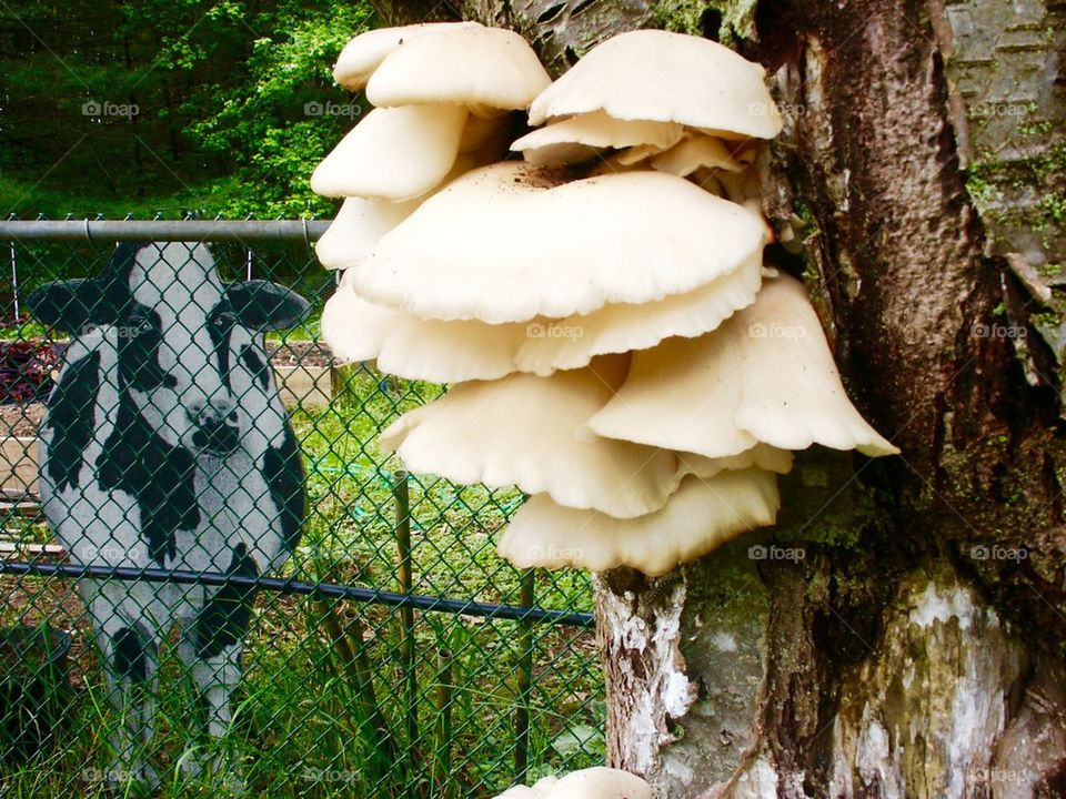 Mushrooms on Ash Tree