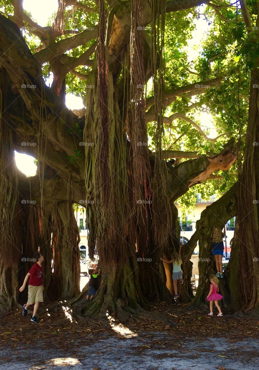 Children playing in Banyan tree