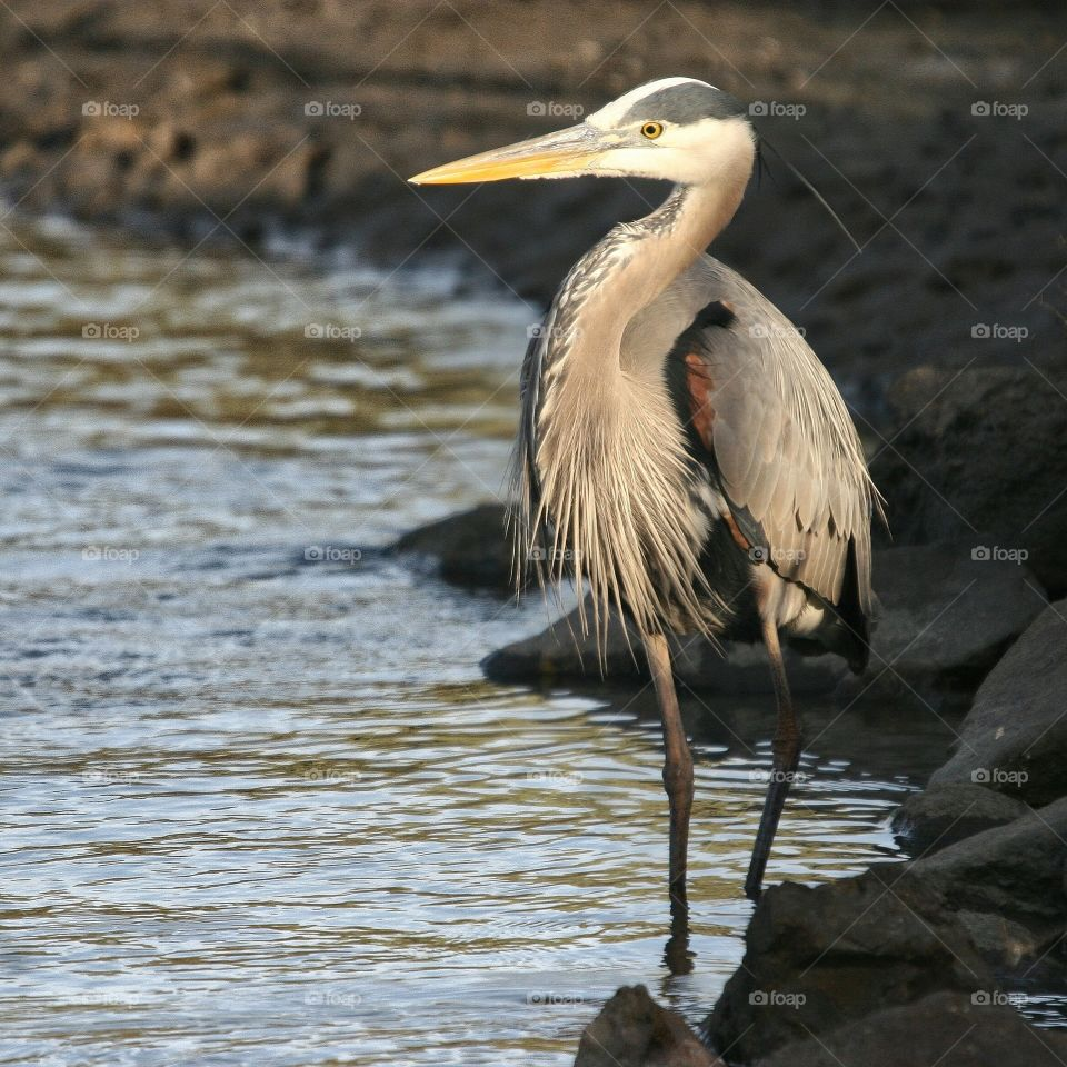 Great Blue Heron in perfect light